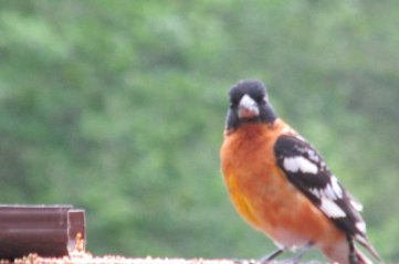 ORANGEBIRD3
